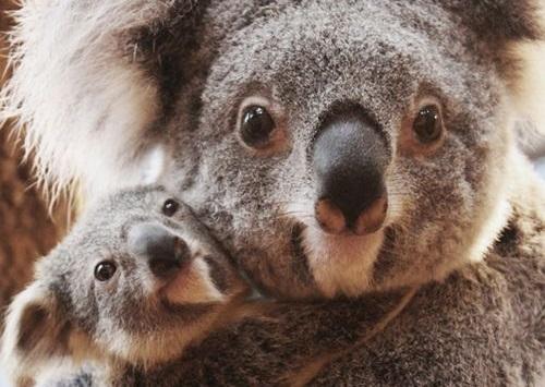 87ea636c4898234b3546404aa0b353dc--koala-baby-baby-baby2